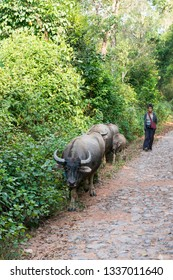 KALAW, MYANMAR - 26 NOVEMBER, 2018: Vertical picture of buffalos on the road close to Kalaw in Myanmar
