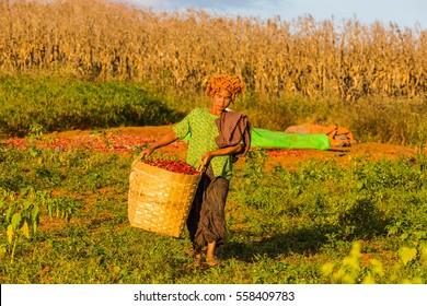 KALAW, MYANMAR - DECEMBER 07, 2016 : woman of Shan tribe harvesting red chili near Kalaw in Myanmar