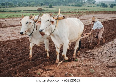 Kalaw, Myanmar - May 22, 2016: Burmese (asian) people in traditional clothes and straw hat working on agriculture field and  plow land by two oxen