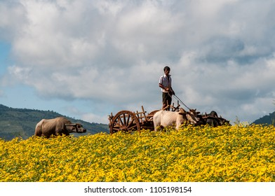 KALAW, MYANMAR - NOV 8, 2012 : a Burmese farmer drives his chariot through the flower fields of the central highlands, northwest of Inle Lake, near Kalaw, on November 8, 2012.