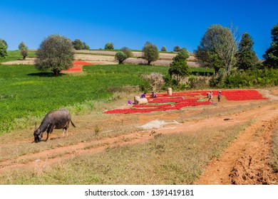 KALAW, MYANMAR - NOVEMBER 25, 2016: Drying chilli peppers in the area between Kalaw and Inle, Myanmar