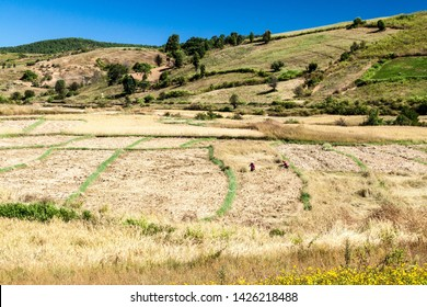 KALAW, MYANMAR - NOVEMBER 25, 2016: Villagers harvesting rice in the area between Kalaw and Inle, Myanmar