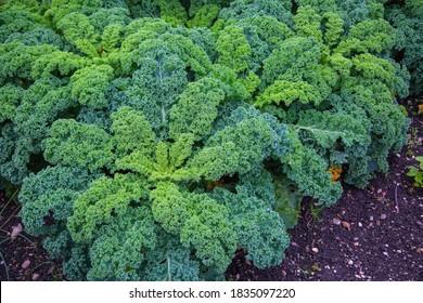 Kale in the field, orangic, grow