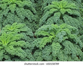 kale, green cabbage,  nature background
