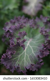 Kale greens in the garden