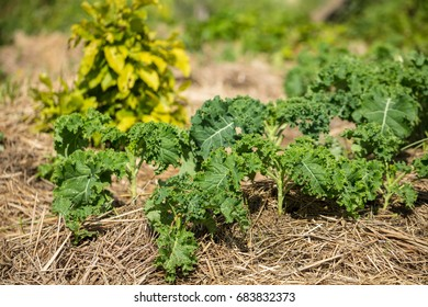 Kale growing in mulch made of straw. Permaculture agriculture. Mulch protects from drying out quickly and prevents weed in the garden.