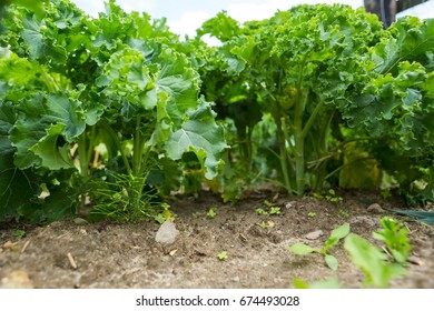 Kale growing in vegetable garden. Ecological plants.
