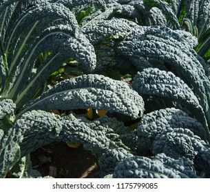 Kale 'Nero di Toscana' or 'Cavolo Nero' (Brassica oleracea) on an Allotment in a Vegetable Garden in Rural Devon, England, UK