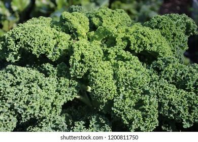 Kale on a plant growing for winter food in Capelle aan den Ijssel in Park Hitland.