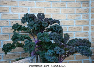 Kale plants growing at the house wall