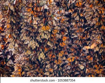 Kaleidoscope of Monarch Butterflies, Danaus plexippus, overwintering in Mexico