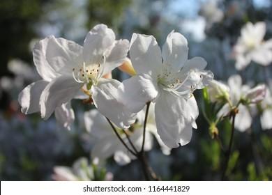 KALININGRAD, KALININGRAD OBLAST / RUSSIA - APRIL 26 2016: Rhododendron blossoms in the Botanical garden of Kaliningrad
