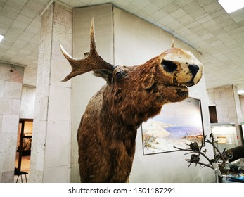 Kaliningrad, Russia - September 10, 2019: Local history Museum Forest stuffed moose with big horns
