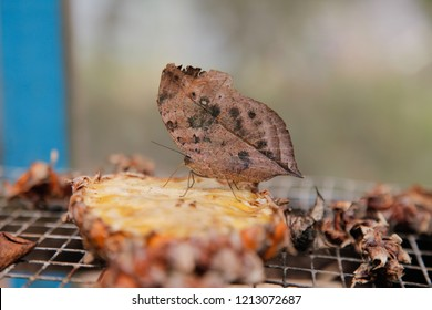 Kallima inachus, the orange oakleaf, Indian oakleaf or dead leaf, is a nymphalid butterfly found in Tropical Asia from India to Japan.