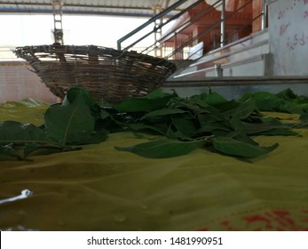 Kalol, Gujarat, India - August 19: Holy bilva patras (bel leaves) placed in a temple for the people to offer to Lord Shiva on August 19, 2019 in Kalol, Gujarat, India.