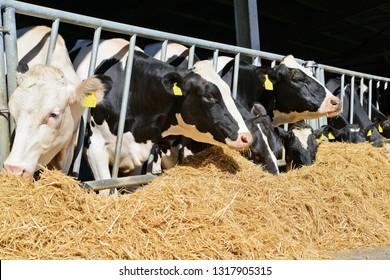 Kalush, Ukraine - July 11, 2016: Cows under a canopy. Breakfast on a dairy farm near the town Kalush, Western Ukraine