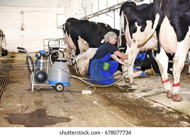 Kalush, Ukraine - July 14, 2017: Milking cows in the dairy farm's cowshed with a milking machine for individual milking near the town Kalush.