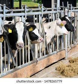 Kalush, Ukraine – June 7, 2019: The content of calves under a canopy at dairy farm near the town Kalush.