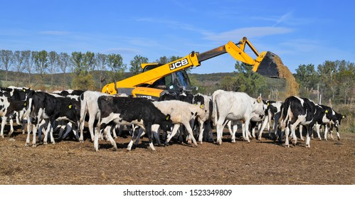 Kalush, Ukraine - October 2, 2019: JCB brand telehandler for transporting coarse feed to a calf pen at a dairy farm near Kalush, Western Ukraine .