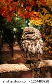 Kamakura, Japan - December 22. 2017: Small an cute owl sitting on a branch in Kamakura Owl's Forest.