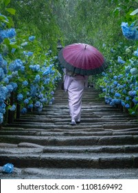 KAMAKURA, Japan - Jun 6, 2018: A woman in traditional Japanese kimono walking along the approach decorated with with beautiful blue hydrangea (macrophylla) at Meigetsuin Temple in Kamakura on a rainy