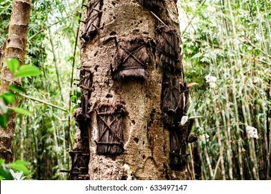 Kambira baby graves tree. Traditional torajan burials site, cemetery in Rantepao, Tana Toraja, Sulawesi, Indonesia.