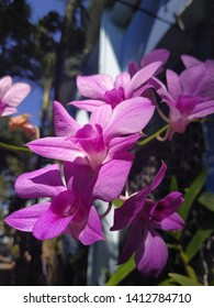 Kamboja flower purpel is beautyful
