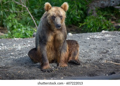Kamchatka. Brown bear.