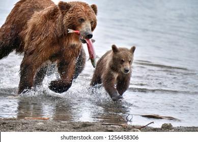 Kamchatka brown bear (Ursus arctos beringianus) - she-bear with  bear cubs - catches fish on the Kuril Lake (Kamchatka Peninsula, Russia).
