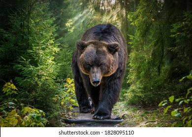 The Kamchatka brown bear or Ursus arctos piscator. Bear is coming towards the camera. Closeup of kamchatka brown bear. - Shutterstock ID 1828095110