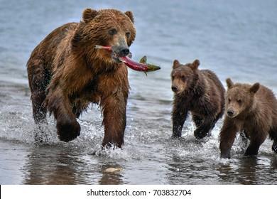 Kamchatka brown bear (Ursus arctos beringianus) catches fish on the Kuril Lake (Kamchatka Peninsula, Russia).