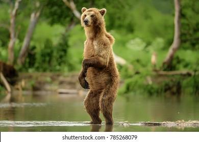 Kamchatka brown bear (ursusarctos beringianus) catches fish on the Kuril lake (Kamchatka Peninsula, Russia).
