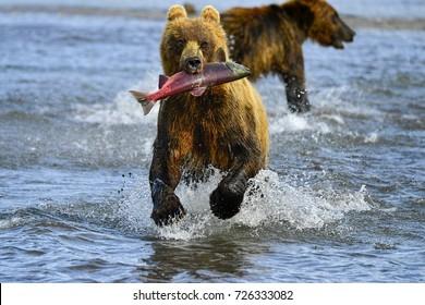 Kamchatka brown bears (Ursus arctos beringianus) fishing on the Kuril Lake (Kamchatka Peninsula, Russia).