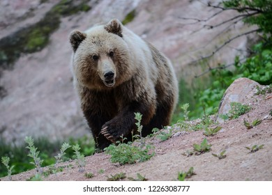 Kamchatka district/Russia - jun 7 2014: Brown kamchatka bear