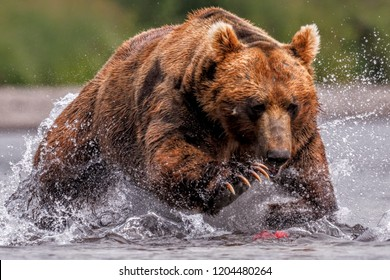 Kamchatka male bear storming on a salmon fish in lake kuril with paws and claws