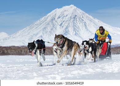 KAMCHATKA PENINSULA, RUSSIA - FEB 25, 2017: Running sled dog team Kamchatka musher Semashkin Andrey on background of Koryak Volcano. Kamchatka Sled Dog Race Beringia, Russian Cup of Sled Dog Racing