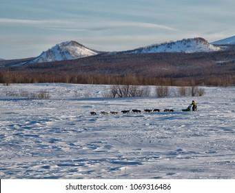 KAMCHATKA PENINSULA, RUSSIAN FAR EAST - MARCH 18, 2018:  Kamchatka Sled Dog Racing.