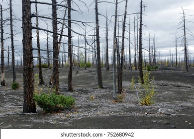 "Kamchatka Peninsula volcano landscape: burnt bare tree (larch) on volcanic slag, ash in Dead Forest (Dead Wood) - consequence of natural disaster catastrophic eruptions Plosky ""Flat"" Tolbachik Volcano"