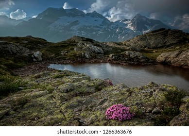 The Kamchatka rhododendron (Rhododendron camtschaticum). Spring flowers of Kamchatka. Flowers and lava of the volcano. Valley of Geysers. Kronotsky State Nature Reserve. Kamchatka Peninsula.