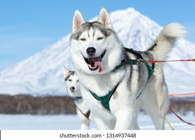 KAMCHATKA, RUSSIA - FEB 25, 2017: Portrait of running Siberian husky sled dog on background blue sky on sunny day. Kamchatka Sled Dog Race Beringia, Russian Cup of Dog Sled Racing (snow disciplines)
