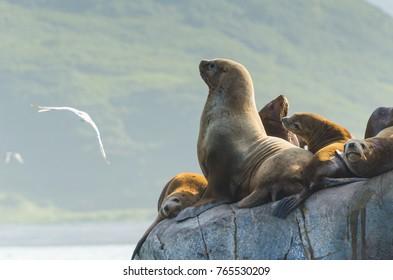 Kamchatka sea lions