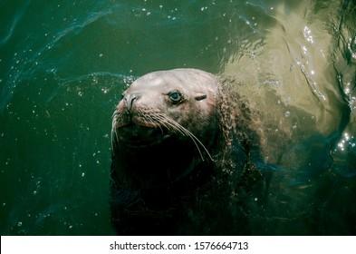 Kamchatka steller sea lion underwater