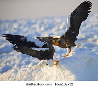 kamchatkan sea eagle foraging in the snow