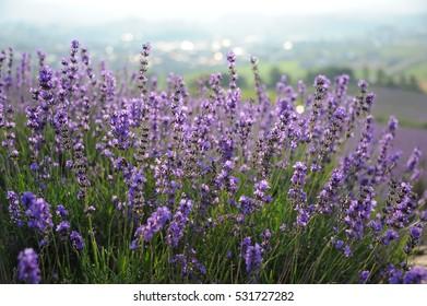 Kamifurano Sunrise Lavender Garden Japan