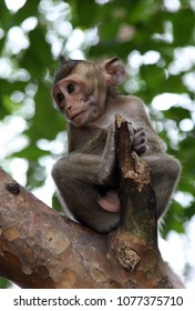 Kampong Sam, Cambodia 11-24-2011 A baby Macaque Monkey sitting in a tree looks like an old man or Yoda.