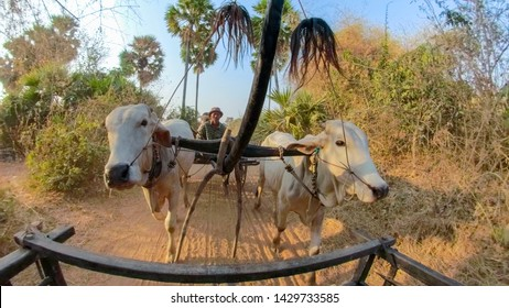 Kampong Tralach, Cambodia - March 3, 2019 :  Ox carts with local drivers along  field in rual Kampong Tralach, Cambodia in early morning.