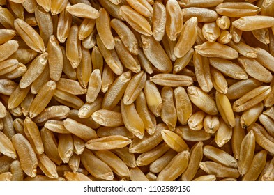 Kamut Khorasan wheat macro photo from above. Grains of Oriental wheat, Triticum turanicum. An ancient recultivated grain from modern-day Iran region, with nutty flavor. Food photo, close up.