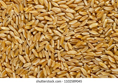 Kamut Khorasan wheat surface from above. Background. Grains of Oriental wheat, Triticum turanicum. An ancient recultivated grain from modern-day Iran region, with nutty flavor. Food photo, close up.