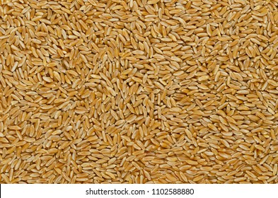 Kamut Khorasan wheat, surface and background. Grains of Oriental wheat, Triticum turanicum. Ancient recultivated grain from modern-day Iran region, with nutty flavor. Food photo, close up, from above.