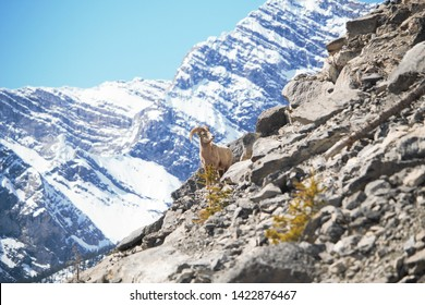 Kananaskis, Alberta/ Canada - May 11 2019: a mountain goat pauses during a descent from a rocky area just outside Canmore.